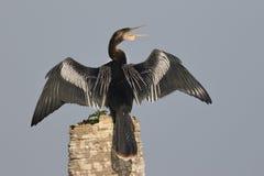 L'Anhinga masculin appelant en tant que lui répand ses ailes pour sécher photo stock