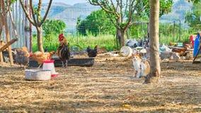 L'animal familier amical de chat chez les poulets mettent dans un enclos à une ferme rurale - scène d'animaux Emplacement : Villa photo stock