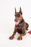 L'animal familier femelle purebreed le dobermann se trouvant sur le fond blanc Photo libre de droits
