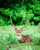 L'animal, Indien a repéré les cerfs communs, axe d'axe dans le sauvage avec l'espace de copie Photographie stock libre de droits
