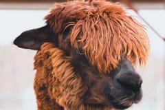 L'animal remarquable et bel avec les cheveux épais a appelé Alpaca Ses cheveux sur sa tête ferment complètement ses yeux image stock