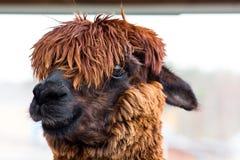 L'animal remarquable et bel avec les cheveux épais a appelé Alpaca Ses cheveux sur sa tête ferment complètement ses yeux images libres de droits