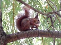 l'animal sauvage d'un écureuil sur une branche d'arbre ronge un écrou photographie stock