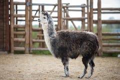 L'animale da soma sudamericano della famiglia Cammelli con lana importante Fotografia Stock