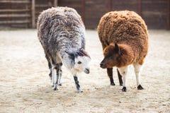 L'animale da soma sudamericano della famiglia Cammelli con lana importante Immagini Stock