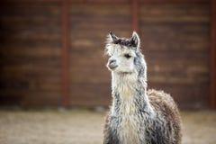 L'animale da soma sudamericano della famiglia Cammelli con lana importante Fotografia Stock Libera da Diritti