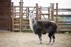 L'animale da soma sudamericano della famiglia Cammelli con lana importante Fotografie Stock Libere da Diritti