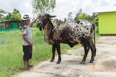 L'animale domestico dell'uomo anziano il bue Fotografie Stock Libere da Diritti