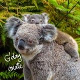 L'animale indigeno australiano dell'orso di koala con il bambino e G'Day accoppiano il saluto fotografie stock libere da diritti