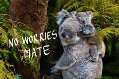 L'animale indigeno australiano dell'orso di koala con il bambino e nessuna preoccupazione accoppiano il testo immagini stock