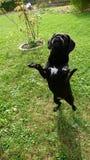 L'animale nero del cane Pets Hund dolce Fotografia Stock