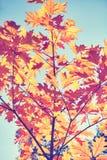 L'annata ha tonificato l'immagine delle foglie di autunno contro il sole immagine stock