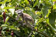 L'anneau de bébé a coupé la queue le lémur se reposant sur une branche d'arbre Photographie stock libre de droits