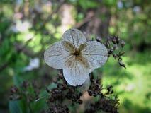 L'anno scorso fiore del ` s Petali asciutti Fotografie Stock Libere da Diritti