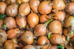 L'anno scorso raccolto della cipolla dopo 6 mesi che immagazzinano con il gre fresco Immagini Stock