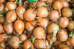 L'anno scorso raccolto della cipolla dopo 6 mesi che immagazzinano con il gre fresco Fotografia Stock Libera da Diritti
