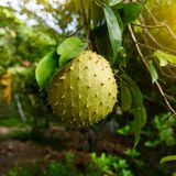 L'anona o mela cannella spinoso è la frutta dell'annona muricata È indigeno alle regioni tropicali delle Americhe e immagine stock