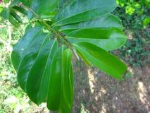 L'anona verde fresca va su un albero di anona Fotografia Stock