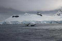 L'Antarctique - baleines Images stock