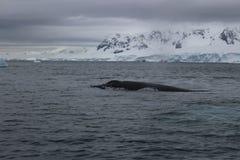 L'Antarctique - baleines Image libre de droits