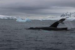 L'Antarctique - baleines Photo stock