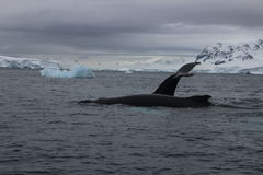 L'Antarctique - baleines photographie stock