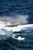 L'Antarctique - joints sur un morceau de glace de flottement Photos stock