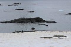 L'Antarctique - pingouins Photos libres de droits