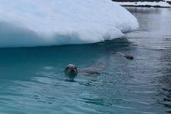 L'Antarctique, une natation curieuse de phoque de mangeur de crabe à côté d'un iceberg photographie stock libre de droits
