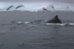 L'Antartide - balene Fotografia Stock Libera da Diritti