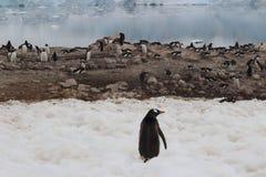 L'Antartide - pinguini Fotografie Stock Libere da Diritti