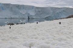 L'Antartide - pinguini Fotografia Stock Libera da Diritti