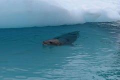 L'Antartide, una guarnizione del leopardo accanto ad un iceberg immagine stock