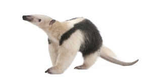 l'anteater a colleté le tetradactyla de tamandua Photos stock