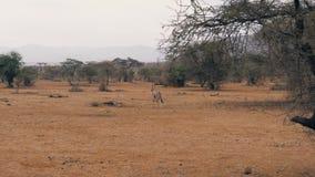 L'antilope dell'orice cammina attraverso la pianura nel periodo di siccità nella riserva africana stock footage