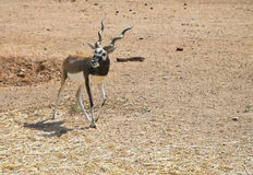 L'antilope di Garn fotografia stock