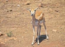 L'antilope di Garn Immagini Stock Libere da Diritti
