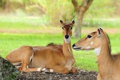 Antilopi femminili del Nilgai fotografia stock libera da diritti