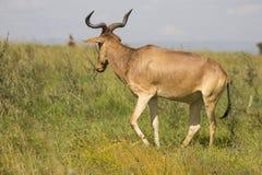 L'antilope a repéré dans la région sauvage image stock