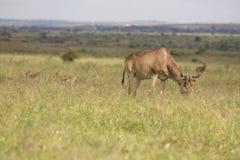 L'antilope a repéré dans la région sauvage photographie stock libre de droits