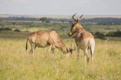 L'antilope a repéré dans la région sauvage images stock
