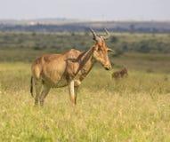 L'antilope a repéré dans la région sauvage photo libre de droits