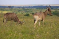L'antilope a repéré dans la région sauvage images libres de droits