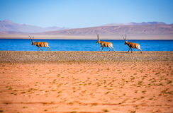 L'antilope tibetana Fotografia Stock