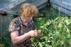 L'anziana in una serra esamina i pomodori Immagini Stock