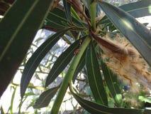 L'anziano dell'adulto e della crisalide ostacola nella pianta dell'oleandro Fotografia Stock Libera da Diritti