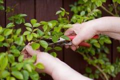 L'anziano taglia le rose con cesoie Fotografia Stock Libera da Diritti