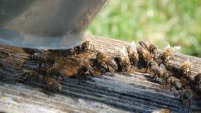 L'ape beve la stagione dell'acqua in primavera Animali ed acqua video d archivio