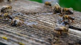 L'ape beve la stagione dell'acqua in primavera Animali ed acqua archivi video