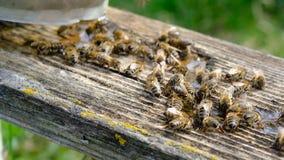 L'ape beve la stagione dell'acqua in primavera Animali ed acqua stock footage